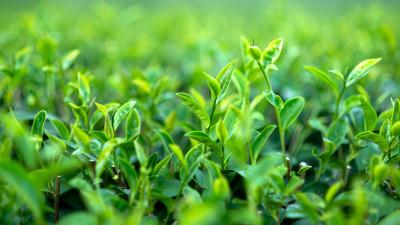 growing-tea-guide