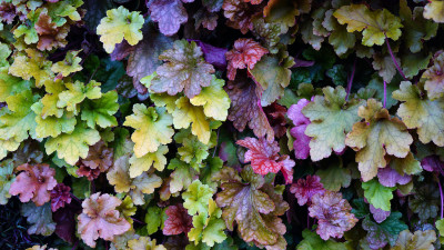 coral-bells-plant-guide