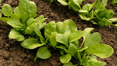 how-to-grow-spinach-in-your-home-garden