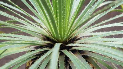 sotol-plant-guide