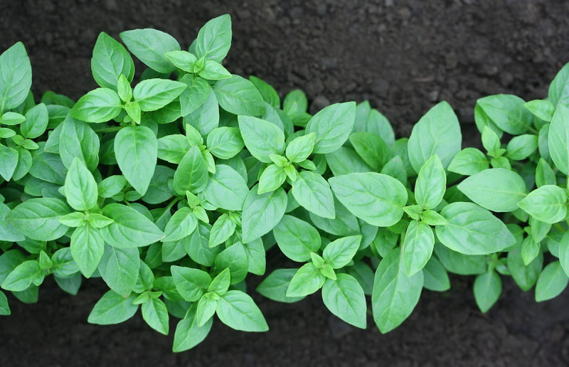 How To Grow Basil Indoors And Outdoors 2021 Masterclass