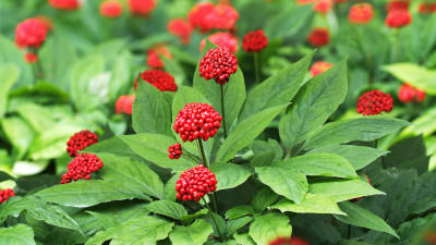 how-to-grow-ginseng