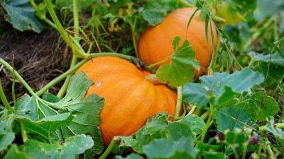 how-to-plant-and-harvest-pumpkins