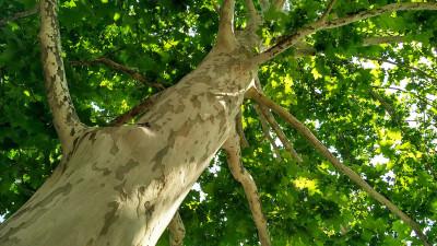 sycamore-tree-guide