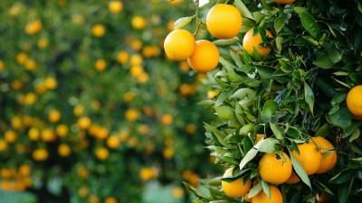 how-to-sprout-and-grow-orange-trees