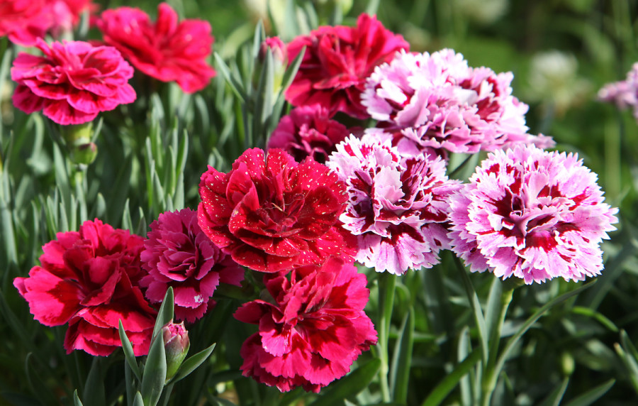 How To Grow Carnation Flowers In Your Home Garden 2021 Masterclass