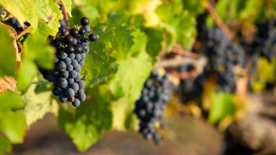 french-wine-grape-guide