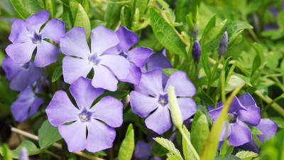 periwinkle-plant-guide