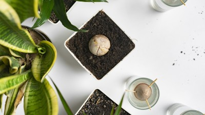 how-to-grow-an-avocado-tree-from-a-pit