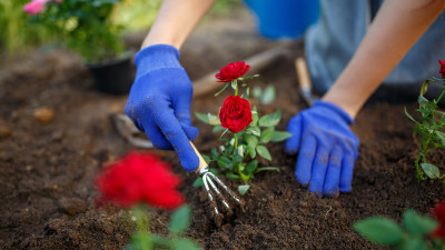 how-to-grow-and-care-for-roses-in-your-home-garden