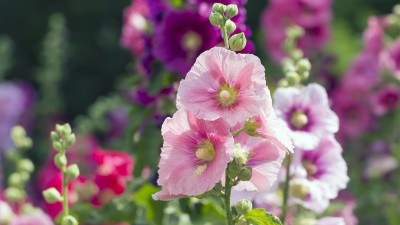how-to-grow-hollyhocks-in-your-home-flower-garden