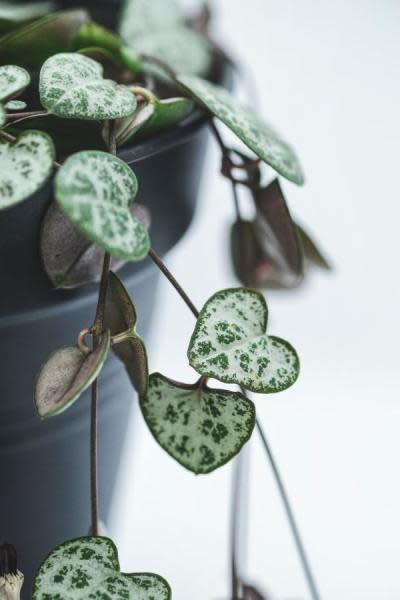 what is string of hearts plant