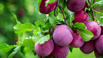 how-to-grow-and-harvest-plums