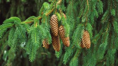 conifers-guide