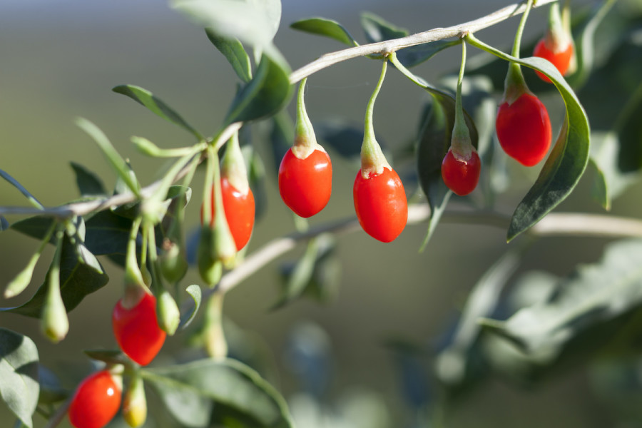 How To Grow Goji Berries In Your Home Garden 2020 Masterclass