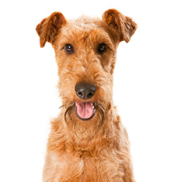 IrishTerrier portraitR