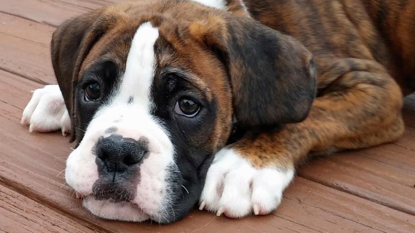 Top 10 Dog Breeds Pet Health Insurance Tips