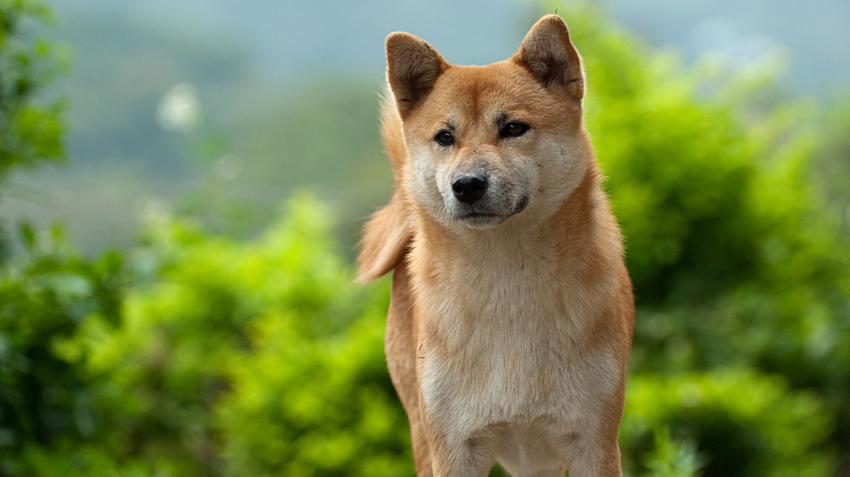 Akita Dogs Pet Health Insurance Tips