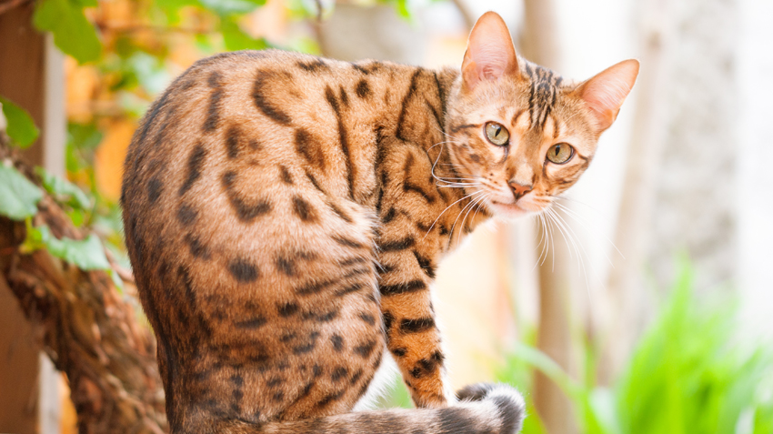 5 Things You Didn't Know About Bengal Cats