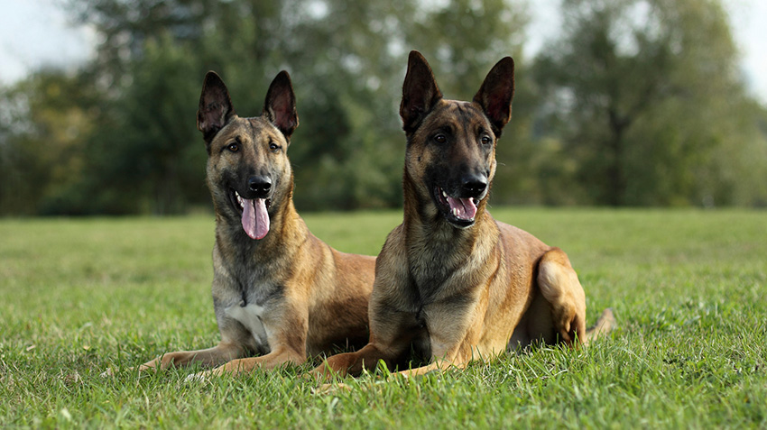 Belgian Malinois Dog Breed Information | 477x850
