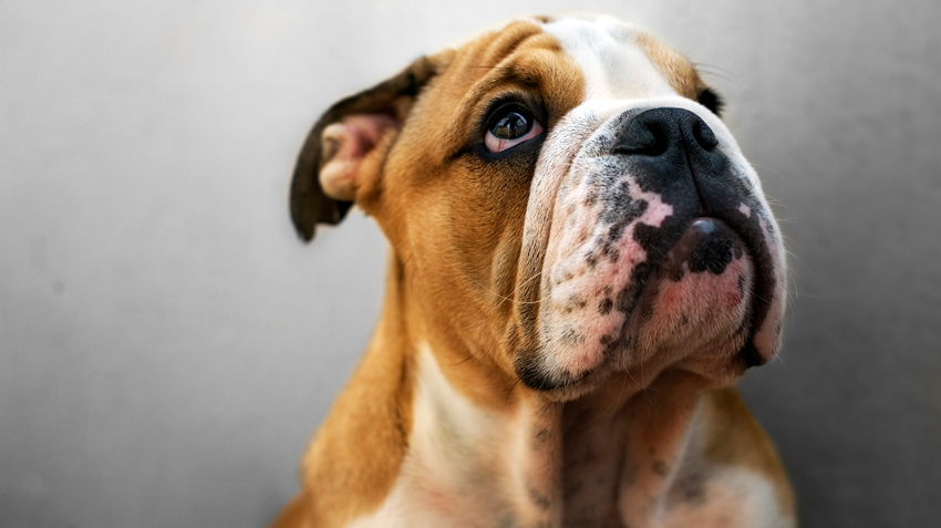 5 Things You Didn't Know About Bulldogs