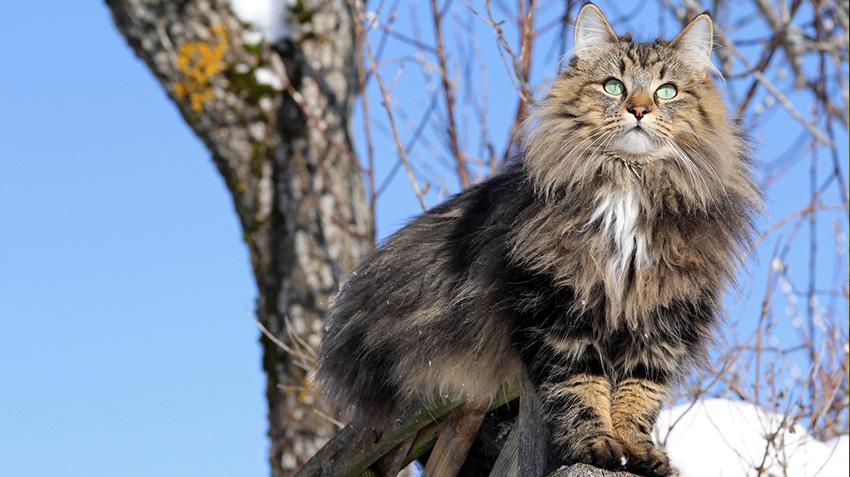 Norwegian Forest Cats Pet Health Insurance Tips