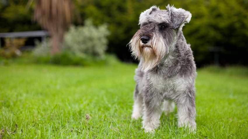 5 Things You Didn't Know About Miniature Schnauzers