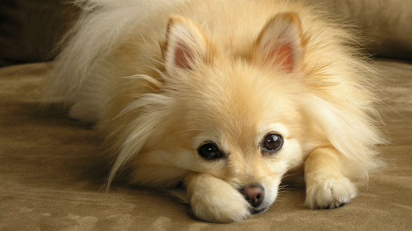 5 Things You Didn't Know About Pomeranians