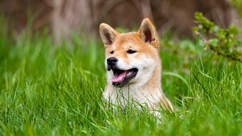 5 Things You Didn't Know About Shiba Inus
