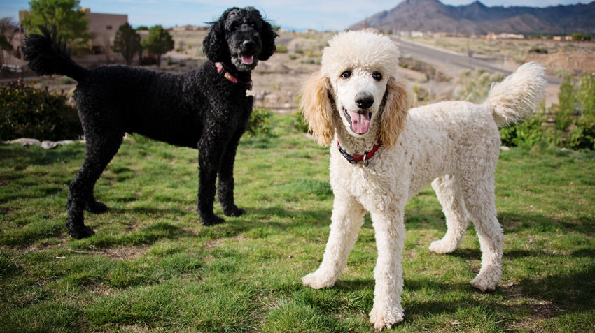 5 Things You Didn't Know About Poodles