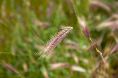 Foxtails weed2