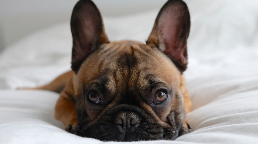 5 Things You Didn't Know About French Bulldogs