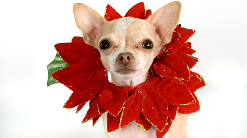 Poinsettias and Pets