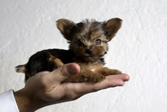 Yorkshire terrier tiny