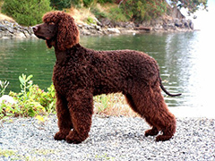 Irish Dogs irish water spaniel