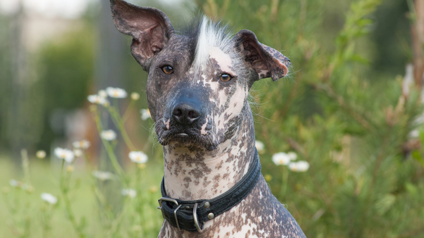 Mexican Dog Breeds Photo