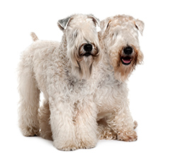 Irish Dogs Wheaten Terrier