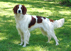 Irish Dogs Red White Setter