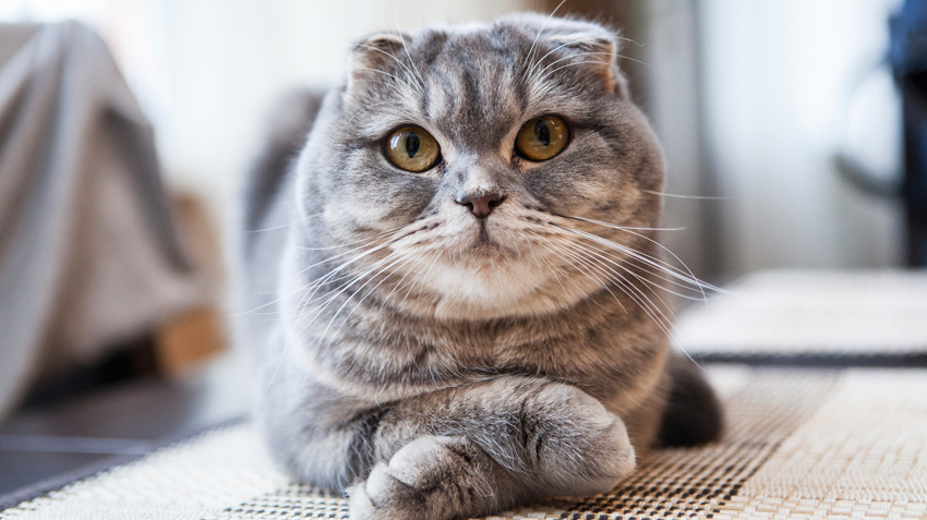 5 Things You Didn't Know About Scottish Fold Cats