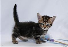 Munchkin Cats Pet Health Insurance Tips