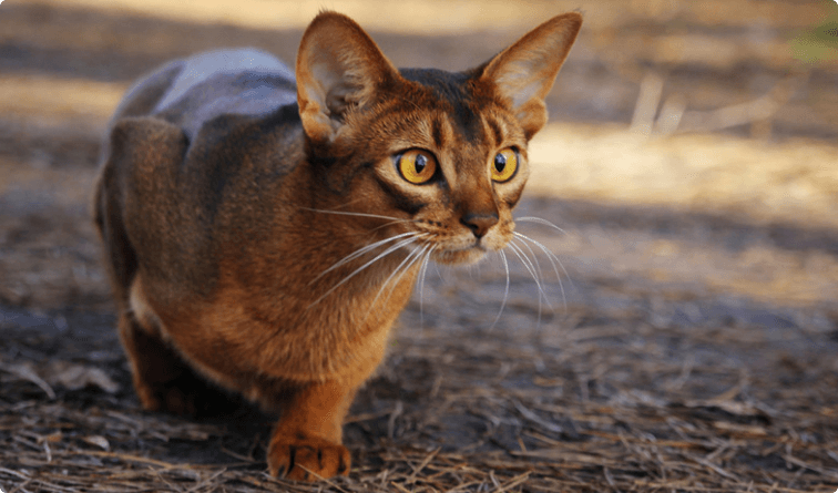 Abyssinian-cats__1_.png