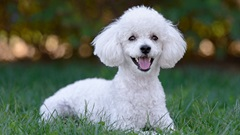 5-Things-Mini-Poodle850