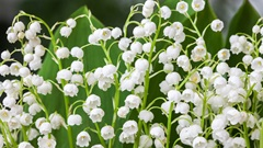 Lily lily-of-the-valley