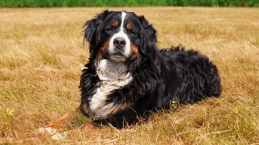 Bernese Mountain Dogs Pet Health