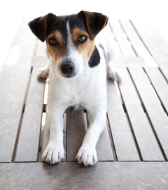 Jack Russell on Table