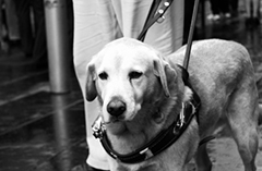 230 guide dog bw