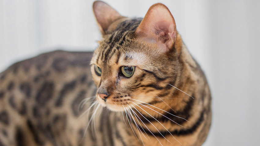 Bengal Cats Pet Health Insurance Tips