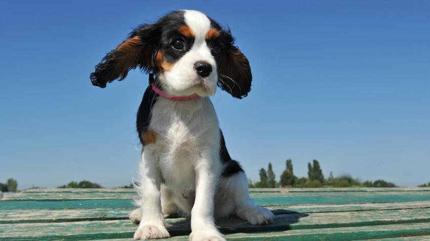 5 Things You Didn't Know About Cavalier King Charles Spaniels