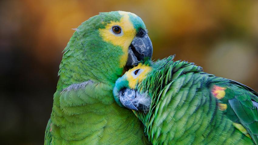 Amazon Parrots Pet Health Insurance Tips