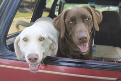 Two Labs in Car